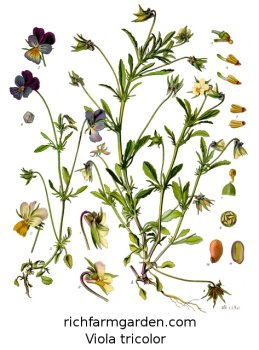 Viola tricolor plant seeds Pancies
