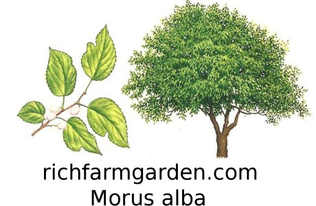 Morus alba Russian Mulberry tree