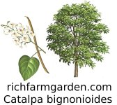 Catalpa bignonioides Indian Bean Catawba tree seed