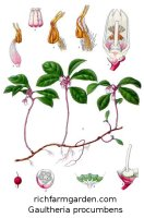 Wintergreen plant Gaultheria procumbens seeds