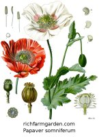 Papaver somniferum plant seeds Blue breadseed Opium Poppy
