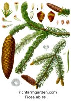 Picea abies Norway Spruce tree seeds