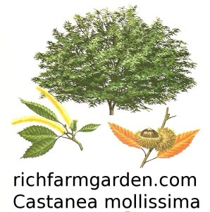 Castanea mollissima Chinese Chestnut tree seeds