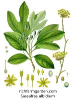 Sassafras albidium Tree