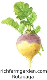 Purple Top Rutabaga