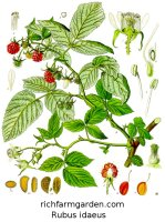 Rubus idaeus plant seeds leaves fruit Wild Raspberry