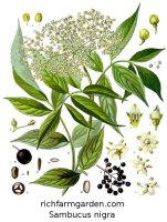 Sambucus nigra Wild Elderberry plant furit seeds flowers