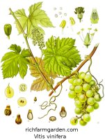 Vitis vinifera Grape vine fruits seeds plants
