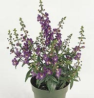 Serena Purple Angelonia