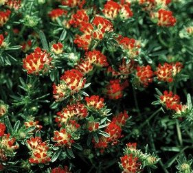 Anthyllis vulneraria coccinea Kidney Vetch Jupiters beard Red Carpet