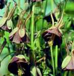 Aquilegia Chocolate Soldier black flower