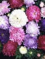 Duchesse Mix Aster Callistephus chinensis annual flower