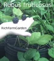 Blackberry plants Rubus fruticosus 'Chester' fruit