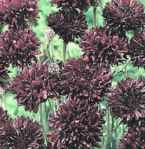 Centaurea Midnight black flower
