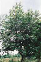 Black cherry tree prunus serotina wild rum