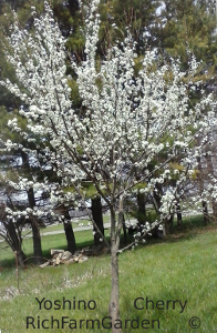 Yoshino cherry tree prunus x yedoensis