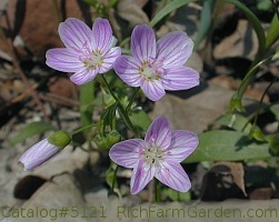 Claytonia virginica Spring Beauty