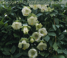 Alba Cobaea scandens White Cup and Saucer Vine