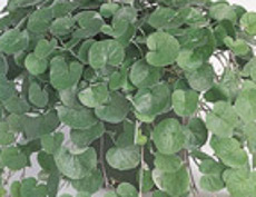 Dichondra repens Emerald Falls Rounded leaf lawn grass substutite