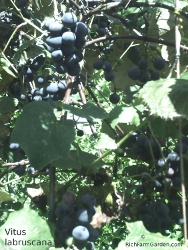 Concord grapes Vitus labruscana plants fruit