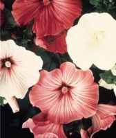Beauty Mix lavatera trimetris