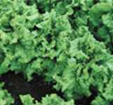 Black Seeded Simpson Heirloom Lettuce
