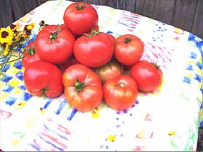 Lutescent Tomatoes