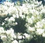 melaleuca tee tree honey myrtle bottle brush tree seeds