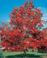 Red Oak Quercus borealis