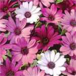 Passion Mix Annual flower Osteospermum