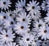 White Star Annual flower Osteospermum