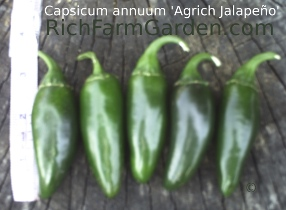 Agrich Old fashioned hot Jalapeno peppers Capsicum annuum