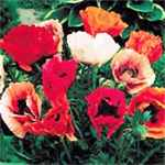 Papaver orientale Poppy mix