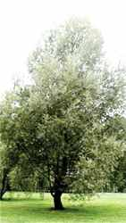 salix alba white willow tree herb