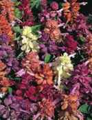 Sizzler mix Salvia splendens