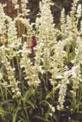 White Rain Salvia superba