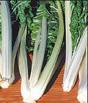 Fordhook giant Swiss Chard green